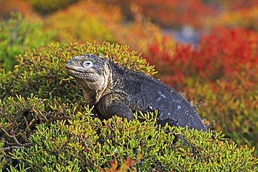 Galapagos Land Iguana (Conolophus subcristatus), subspecies of South Plaza Island, Isla Plaza Sur, Galapagos, UNESCO World Heritage Site, Ecuador, South America