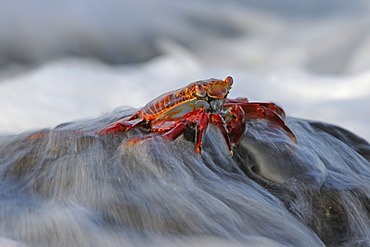 Red Rock Crab or Sally Lightfoot (Grapsus Grapsus) being washing over by surf, Espanola Island, Galapagos Islands, UNESCO World Natural Heritage Site, Ecuador, South America
