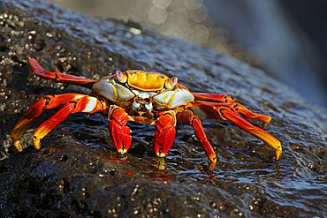Red Rock Crab or Sally Lightfoot (Grapsus Grapsus), Espanola Island, Galapagos Islands, UNESCO World Natural Heritage Site, Ecuador, South America