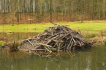 European Beaver (Castor fiber), beaver\'s lodge, beaver dam
