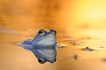 Moor Frog (Rana arvalis) in spawning grounds at sunset, Middle Elbe Biosphere Reserve near Dessau, Saxony-Anhalt, Germany, Europe