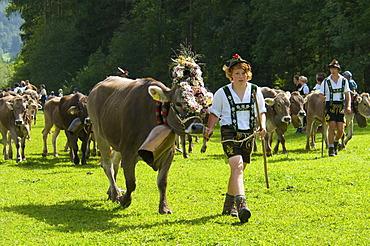 Cattle seperation in Bad Hindelang, Allgaeu, Bavaria, Germany, Europe