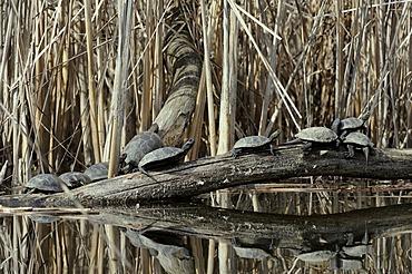 European Pond Turtle (Emys orbicularis), Danube wetlands, Donau Auen National Park, Lower Austria, Austria, Europe