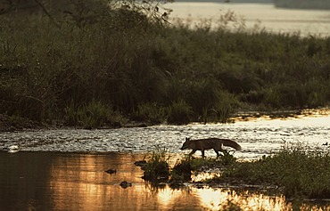 Red Fox (Vulpes vulpes) in the water, Danube wetlands, Donau Auen National Park, Lower Austria, Austria, Europe