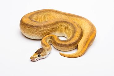 Royal python (Python regius), Champagne Cinnamon, female, reptile breeder Willi Obermayer, Austria