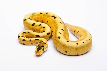 Royal python (Python regius), Tiger Spider, female, reptile breeder Willi Obermayer, Austria