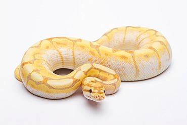 Royal python (Python regius), Spider CG, male, reptile breeder Willi Obermayer, Austria