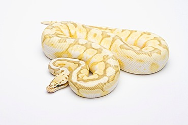 Royal python (Python regius), Killer Bee Butter, male, reptile breeder Willi Obermayer, Austria