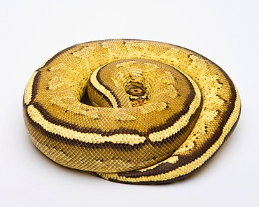 Royal python (Python regius), Superstripe, male, reptile breeder Willi Obermayer, Austria