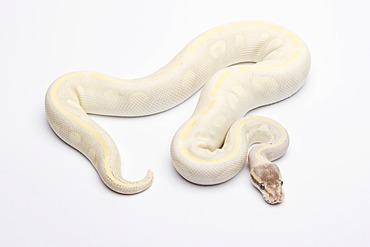 Royal python (Python regius), Opal Diamond, male, reptile breeder Willi Obermayer, Austria