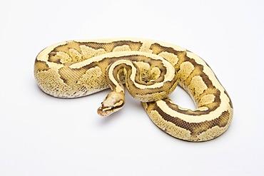 Royal python (Python regius), Vanilla Cream, male, reptile breeder Willi Obermayer, Austria