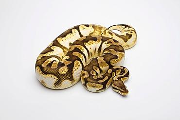 Royal python (Python regius), Pastel Sugar, female, reptile breeder Willi Obermayer, Austria