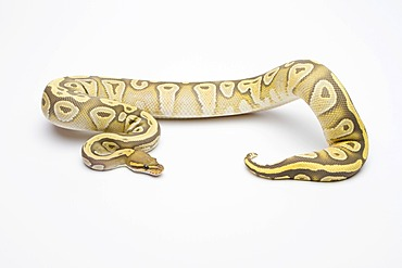 Royal python (Python regius), Hypo Mojave, female, reptile breeder Willi Obermayer, Austria