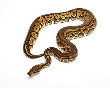Royal python (Python regius), Black Pastel, reptile breeder Willi Obermayer, Austria