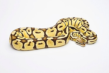 Royal python (Python regius), Super Pastell Vanilla, female, reptile breeder Willi Obermayer, Austria