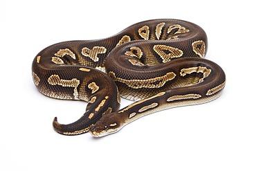 Royal python (Python regius), Super Black Head, reptile breeder Willi Obermayer, Austria