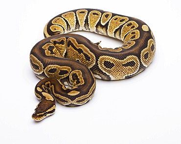 Royal python (Python regius), Africa Red Het Axanthik, female, reptile breeder Willi Obermayer, Austria