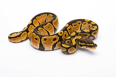 Royal python (Python regius) Black Head Spider Het Ghost Possible Het Albino, female, reptile breeder Willi Obermayer, Austria