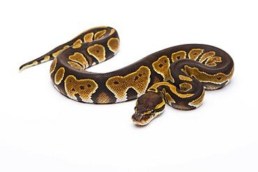 Royal python (Python regius), Black Head Double Het Albino Ghost, female, reptile breeder Willi Obermayer, Austria