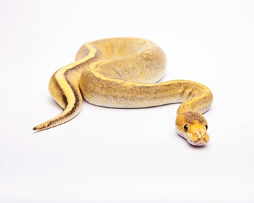 Royal python (Python regius), Champagne Calico, female, reptile breeder Willi Obermayer, Austria