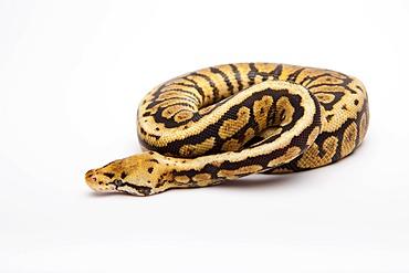 Royal python (Python regius), Powerball, male, reptile breeder Willi Obermayer, Austria