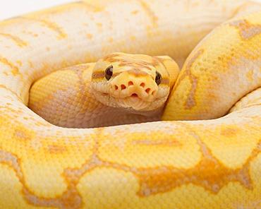 Royal Python (Python regius), Spider CG, male, Willi Obermayer reptile breeding, Austria