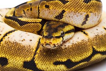 Royal Python (Python regius), Spider, female, Willi Obermayer reptile breeding, Austria
