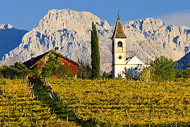 Vineyards in autumn, Dolomites, Alto Adige, Italy, Europe