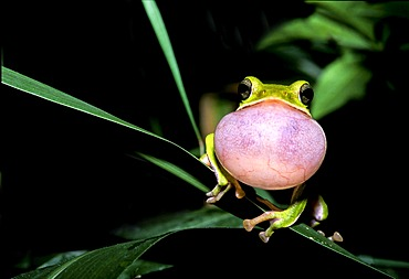 Farmland Green Tree Frog (Rhacophorus arvalis), inflated vocal sac, courtship display, species endemic to Taiwan