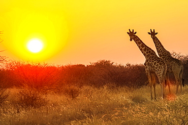 Giraffes (Giraffa camelopardalis) in front of sunset, Namibia, Africa