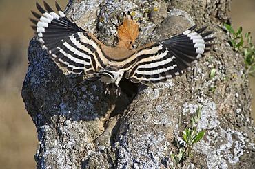 Hoopoe (Upupa epops), Quintana de la Serena, Badajoz, Extremadura, Spain, Europe