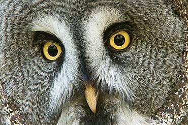 Great Grey Owl (Strix nebulosa), Marlow Vogelpark bird park, Mecklenburg-Western Pomerania, Germany, Europe