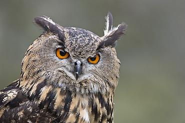 Eurasian eagle-owl (Bubo bubo), Tierpark Sababurg zoo, Hofgeismar, Hesse, Germany, Europe
