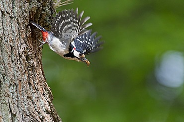 Great Spotted Woodpecker (Dendrocopos major), in flight, Urwald Sababurg Nature Reserve, North Hesse, Germany, Europe