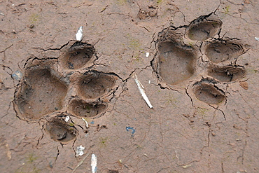 Tracks of a jaguar, Amazonia, Brazil, South America