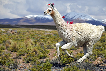 Llama (Lama glama) running on the Altiplano, Andes Mountains, Cuzco, Peru, South America