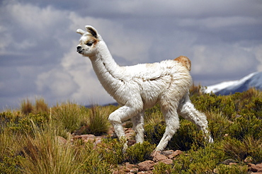 Alpaca (Vicugna pacos), young, Andes, Bolivian Altiplano, border triangle of Bolivia, Chile and Argentina, South America
