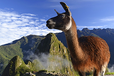 Llama (Llama glama) at the ruins of Machu Picchu, near Cusco, Andes, Peru, South America
