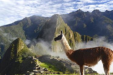 Llama (Lama glama) at the Inca ruins of Machu Picchu in the Andes, UNESCO World Heritage Site, Urubamba Valley, near Cusco, Cuzco, Peru, South America