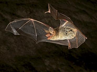 Lesser Mouse-eared Bat (Myotis blythii)