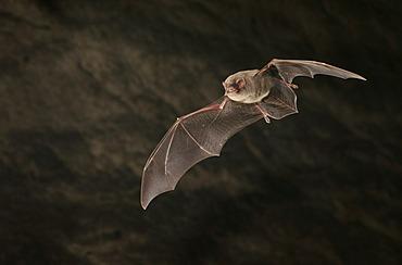 Common Bent-wing Bat or Schreiber's Long-Fingered Bat (Miniopterus schreibersii)