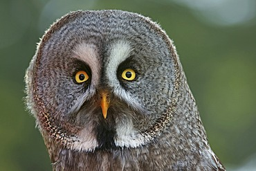 Great Grey Owl (Strix nebulosa), captive, Hesse, Germany, Europe