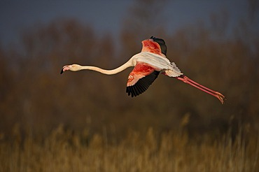 Flying Flamingo (Phoenicopterus) in the evening light in the Parc de Gau, Camargue, southern France, France, Europe