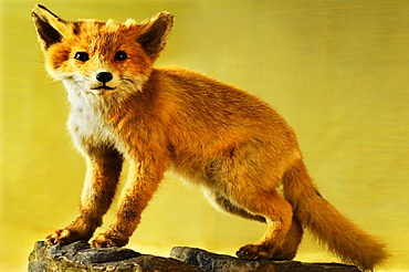 Taxidermied animal, a young Fox (Vulpes vulpes), 2012 Special Exhibition, Museum of Industry, Sichartstrasse 5-25, Lauf an der Pegnitz, Middle Franconia, Bavaria, Germany, Europe