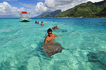 Man swimming with a stingray (Dasyatis sp.), Stingray World, Hauru Point Moorea, Windward Islands, Society Islands, French Polynesia, Pacific Ocean