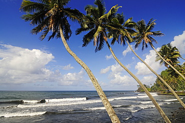 Palm trees at the beach, Mahina Venus Point, Tahiti, Society Islands, French Polynesia, Pacific Ocean