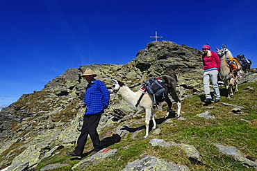 Llama tour to the summit of Boeses Weibele Mountain in the Defregger Group, Carnic Dolomites, Upper Lienz, Puster Valley, East Tyrol, Austria, Europe