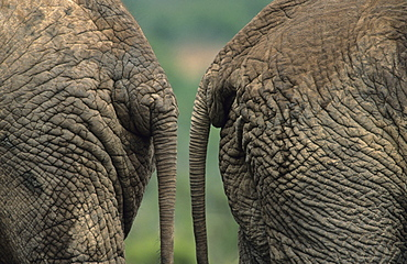 African elephants (Loxodonta africana), bottoms, Addo National Park, South Africa