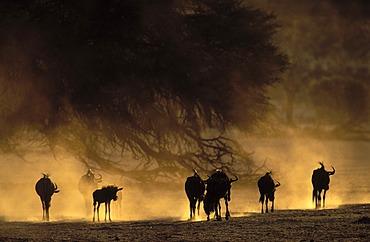 Blue wildebeest (Connochaetes taurinus), in dry riverbed, Kgalagadi Transfrontier Park, Kalahari, South Africa, Africa