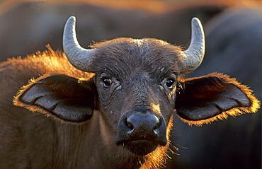 Cape Buffalo (Syncerus caffer), calf, portrait, Kruger National Park, South Africa